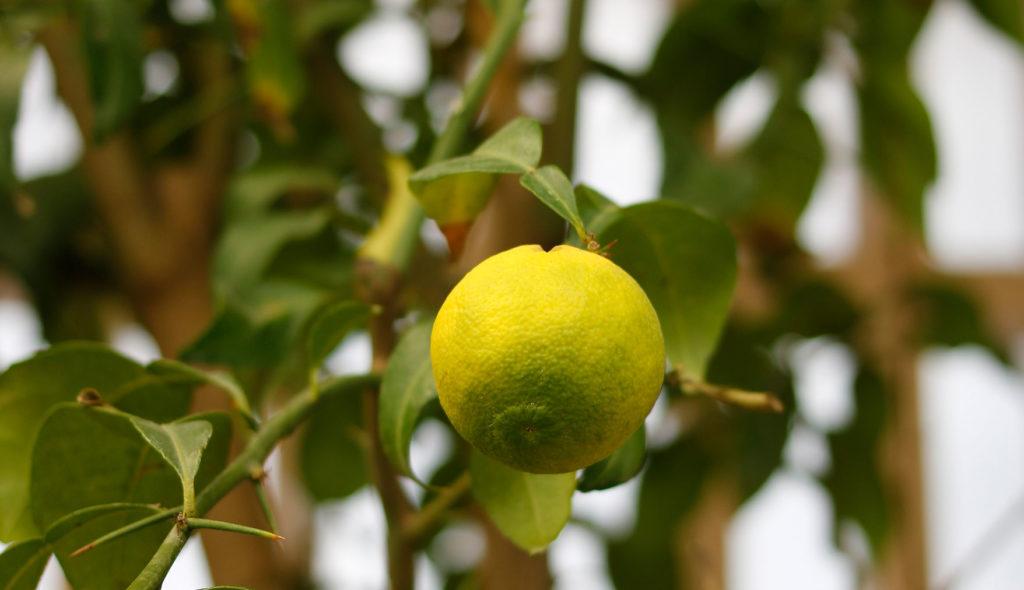 fruto-yuzu-cirtrus-and-life